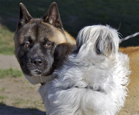 Double Dog Day: Akita and Maltese Mix - The Dogs of San