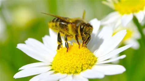Bees Get A Buzz From Caffeinated Flowers | IFLScience