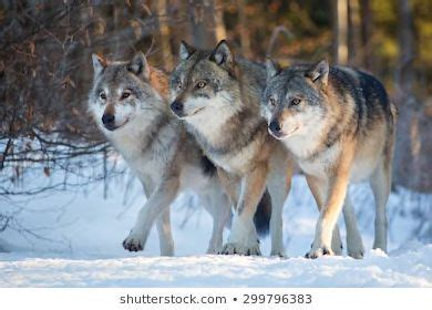 The Story of Yellowstone Wolf 8: From Underdog to Alpha