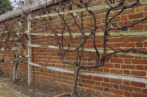 Vern Nelson: Here are some ways espalier lovers can avoid