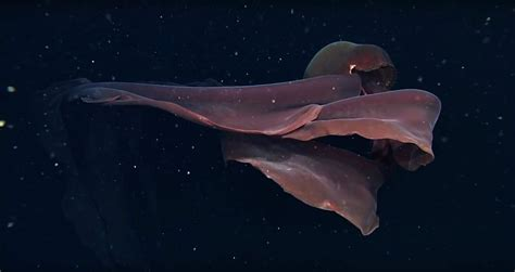 It's hard to believe this ghostly ten-metre jellyfish is